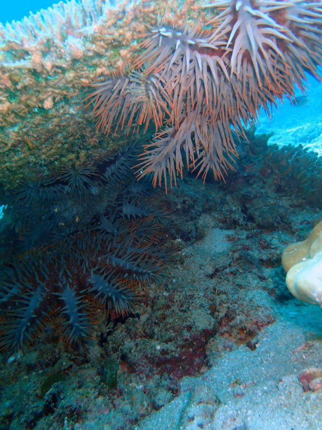 Crown of Thorns munching on the coral