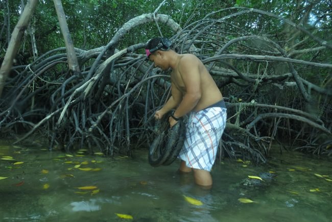 Faiz working hard to remove tyres from the mangrove roots