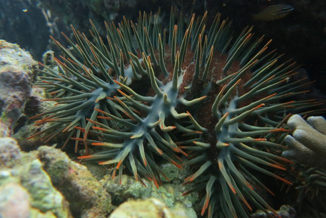 The pesky Crown Of Thorns Starfish