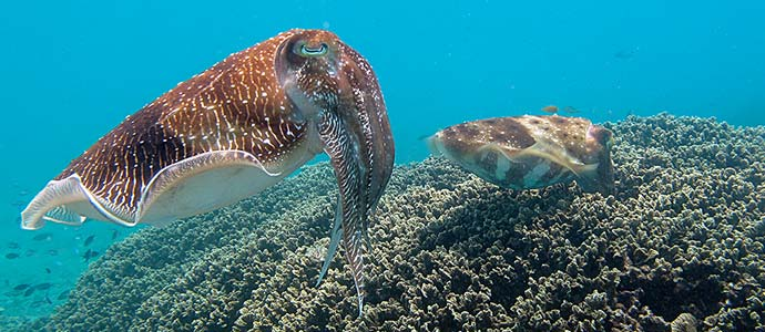 Pharaoh Reef Cuttlefish mating on Tioman