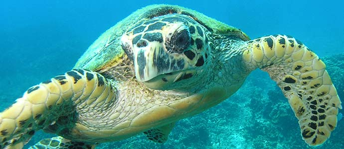 Turtles on Tioman